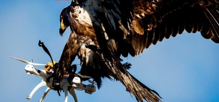 Águia capturando Drone?